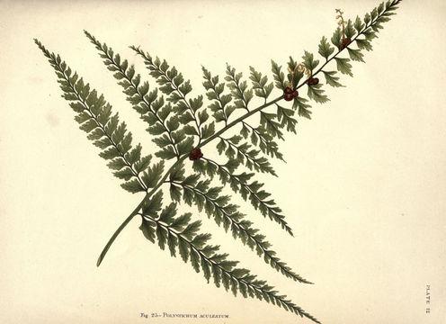 Image of <i>Polystichum aculeatum</i> (L.) Roth