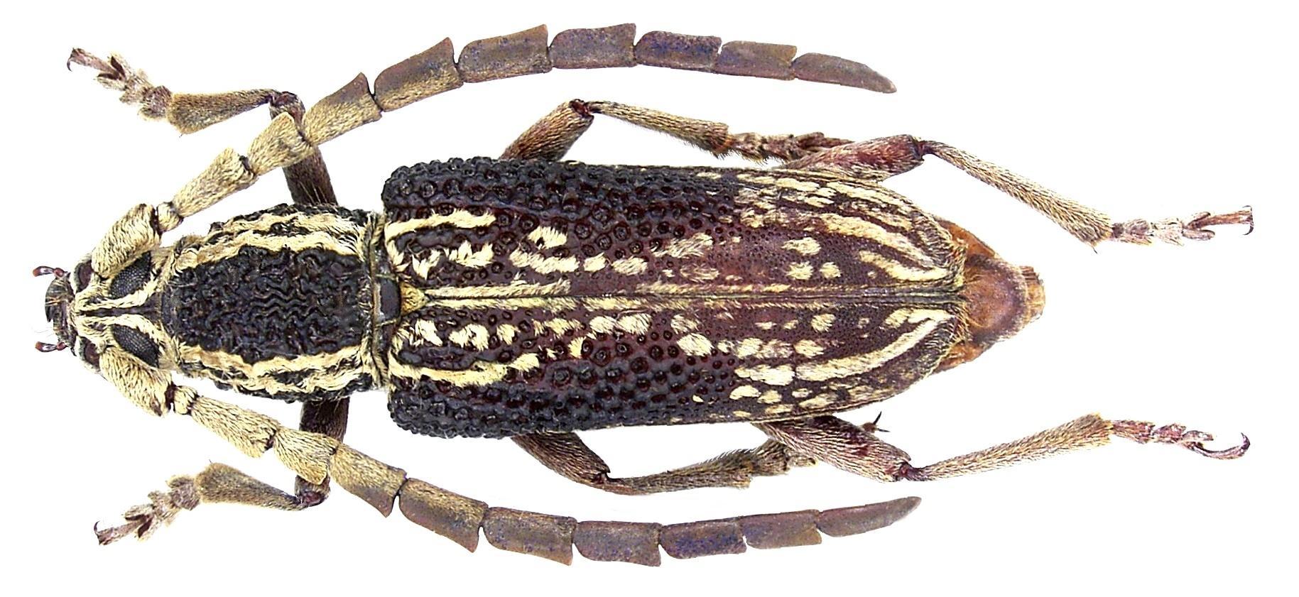 Image of <i>Xoanodera laticornis</i> Gahan 1891