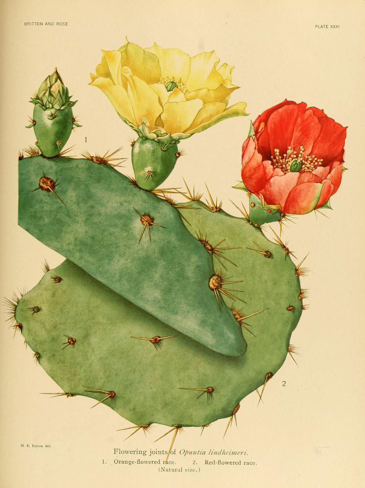 Image of Texas pricklypear