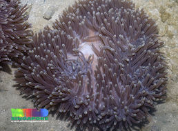 Image of Bulb-Tip Anemone