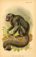 Image of Red-nosed Bearded Saki