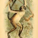 Image of Brown Spider Monkey