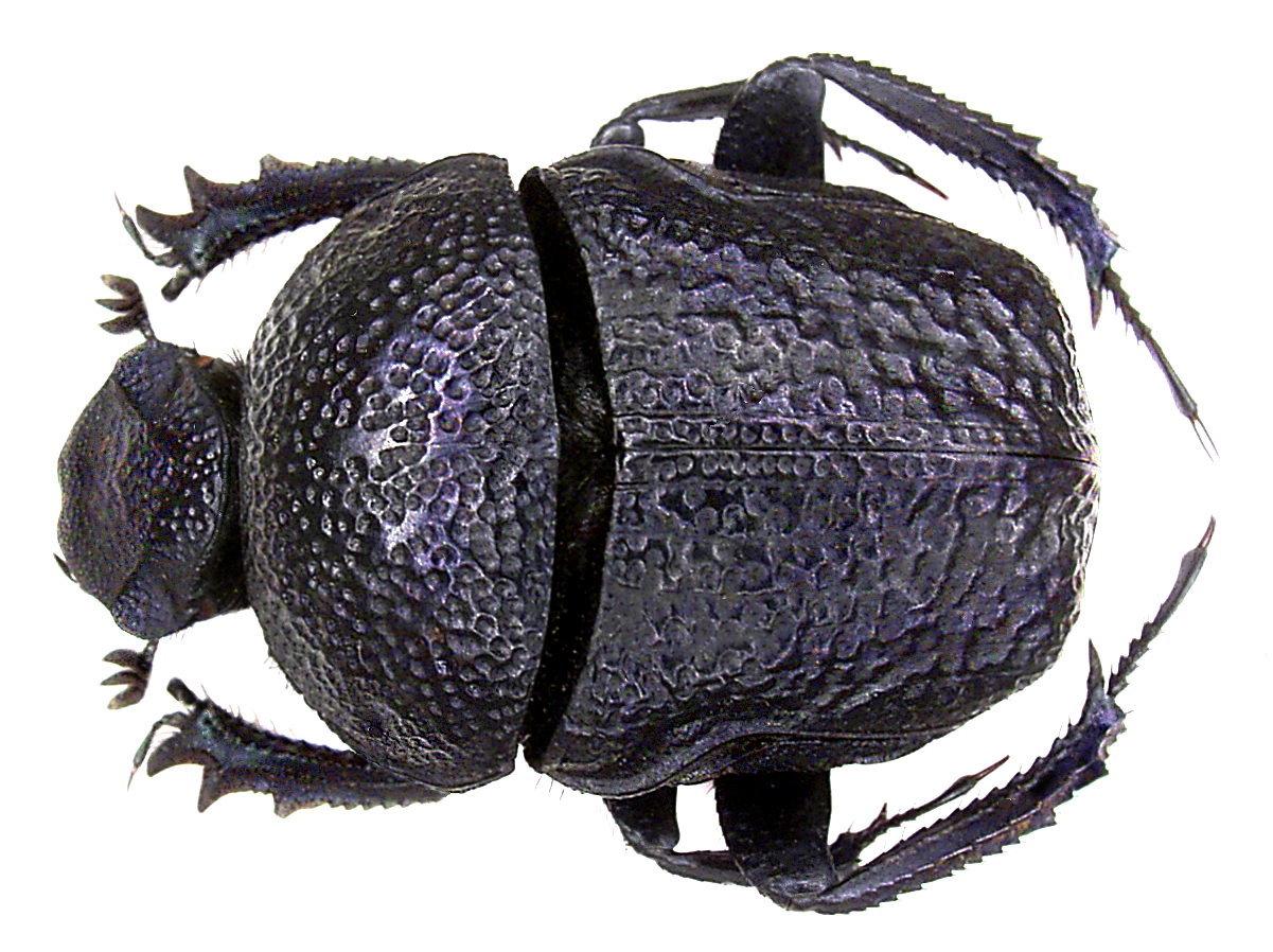 Image of <i>Gymnopleurus flagellatus</i>
