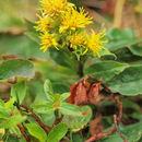 Image of <i>Solidago virgaurea</i> ssp. <i>minuta</i> (L.) Arcangeli
