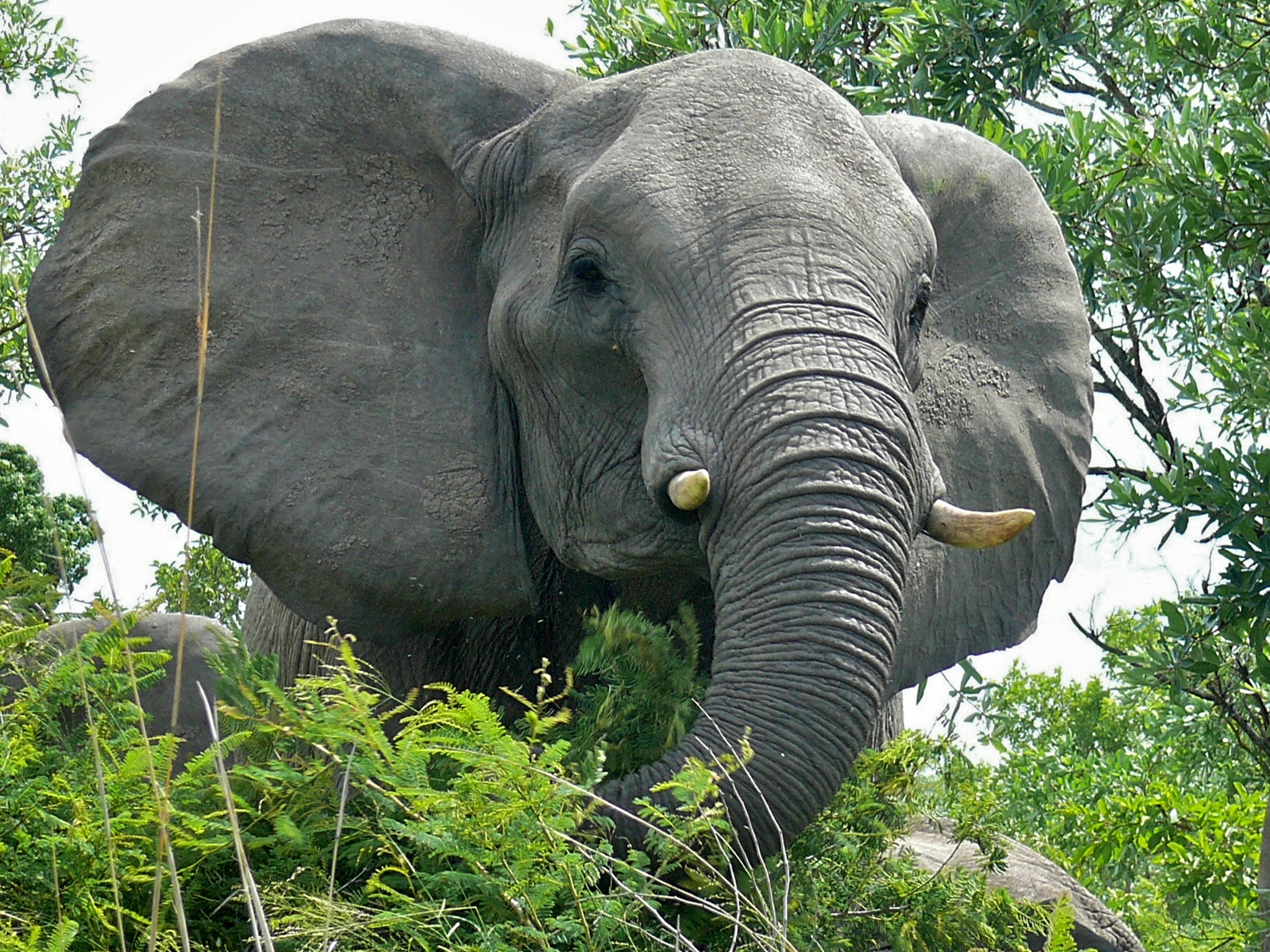 Image of African bush elephant