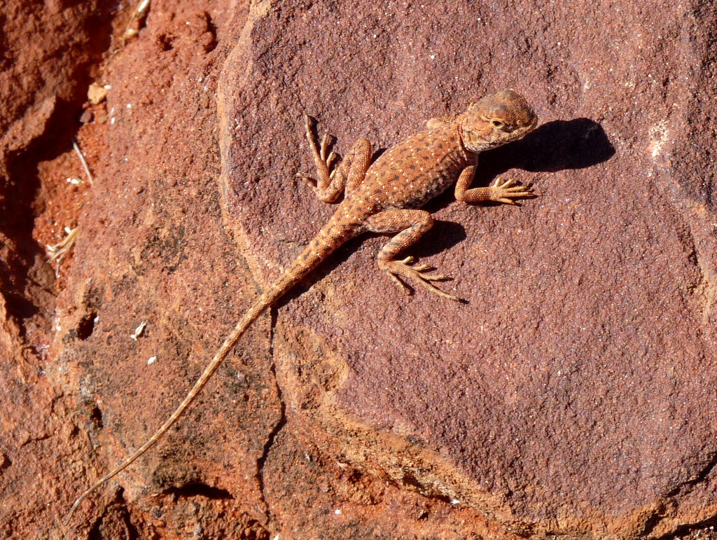 Image of Ring-tailed dragon