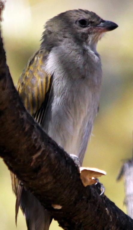 Image of Lesser Honeyguide
