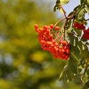 Image of <i>Sorbus <i>aucuparia</i></i> aucuparia
