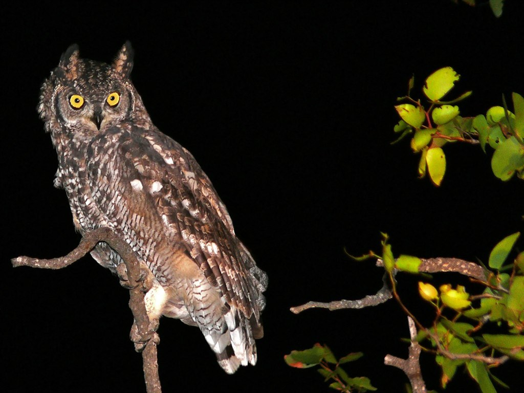 Image of Spotted Eagle-Owl