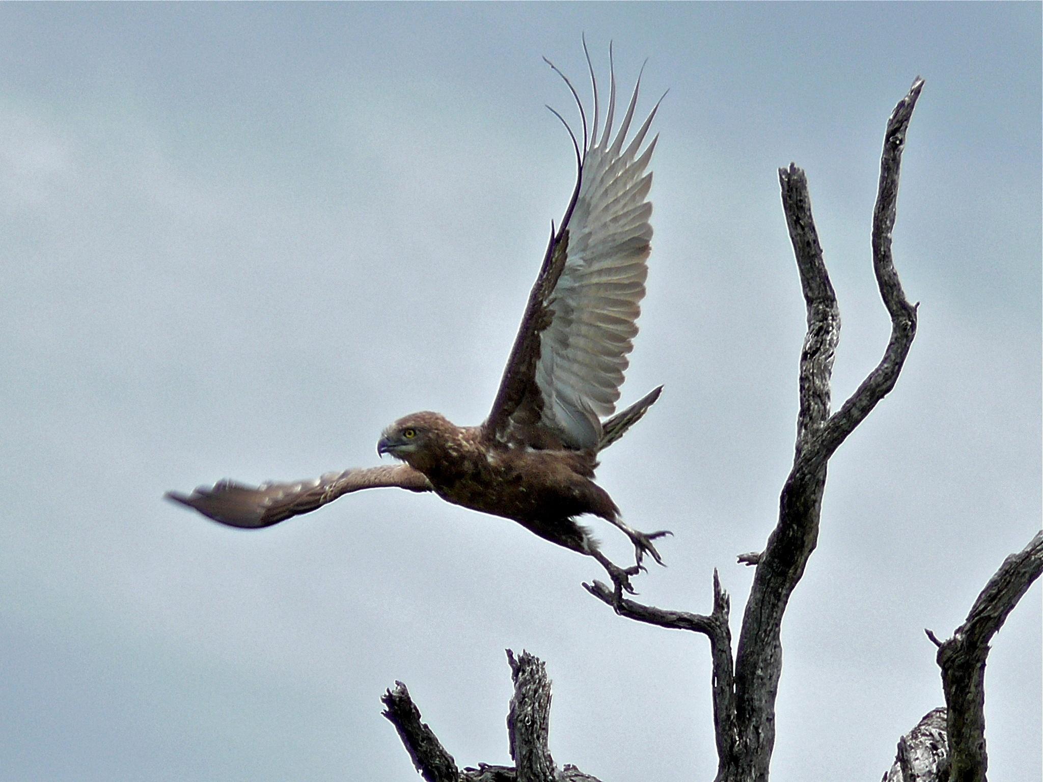 Image of Brown Snake-Eagle
