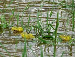 Image of African Bullfrog