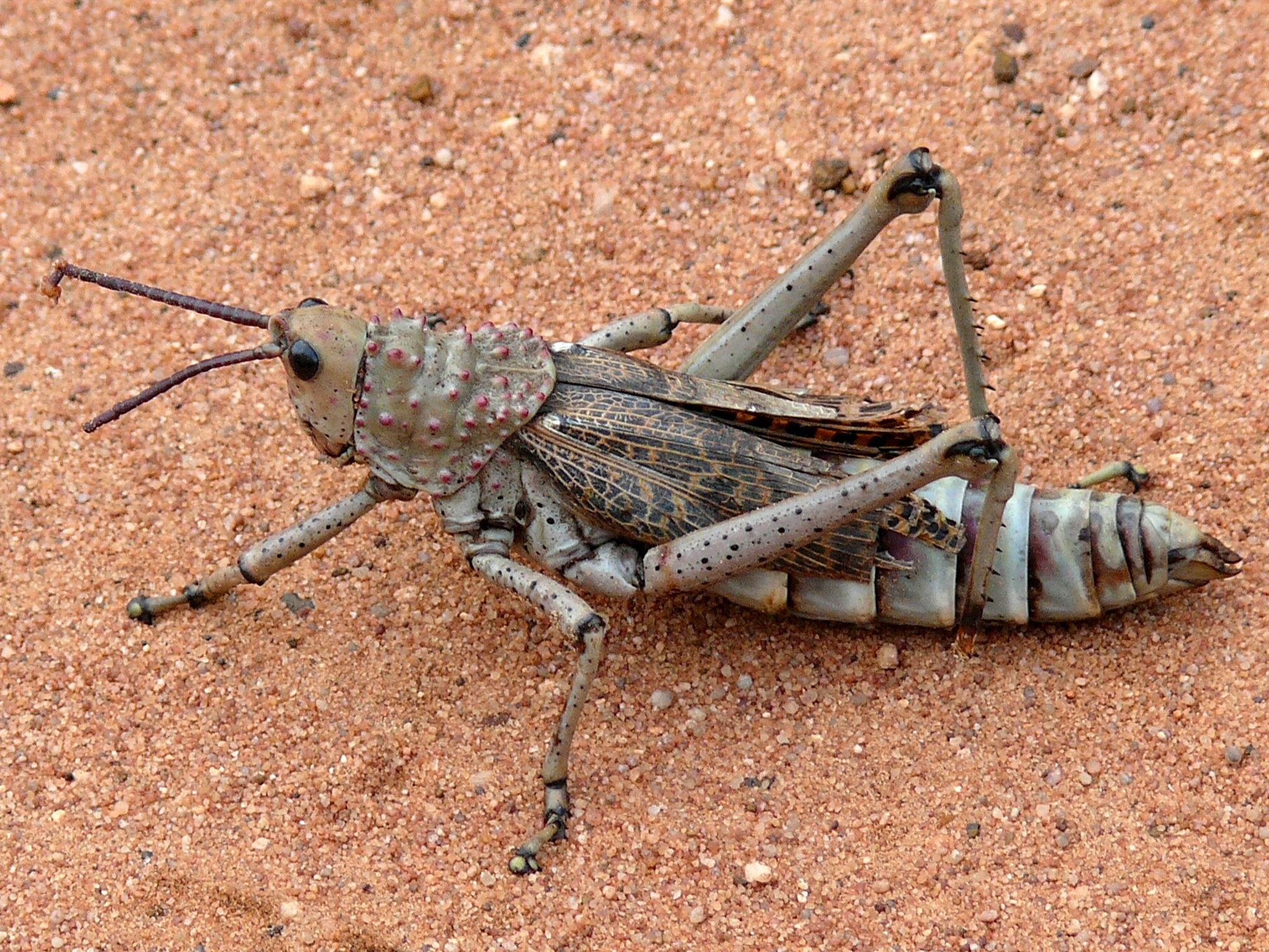 Image of <i>Phymateus</i> (<i>Maphyteus</i>) <i>baccatus</i> Stål 1876