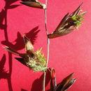Image of <i>Vriesea procera</i> (Mart. ex Schult. & Schult. fil.) Wittm.