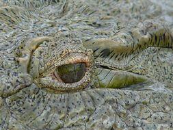 Image of Nile crocodile