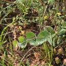 Image of Evergreen Honeysuckle