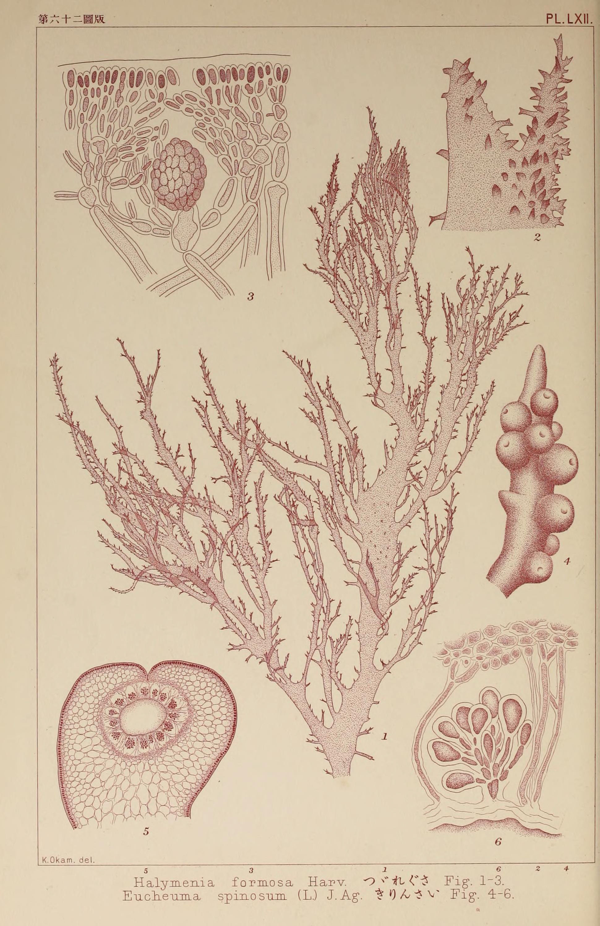 Image of <i>Halymenia formosa</i>