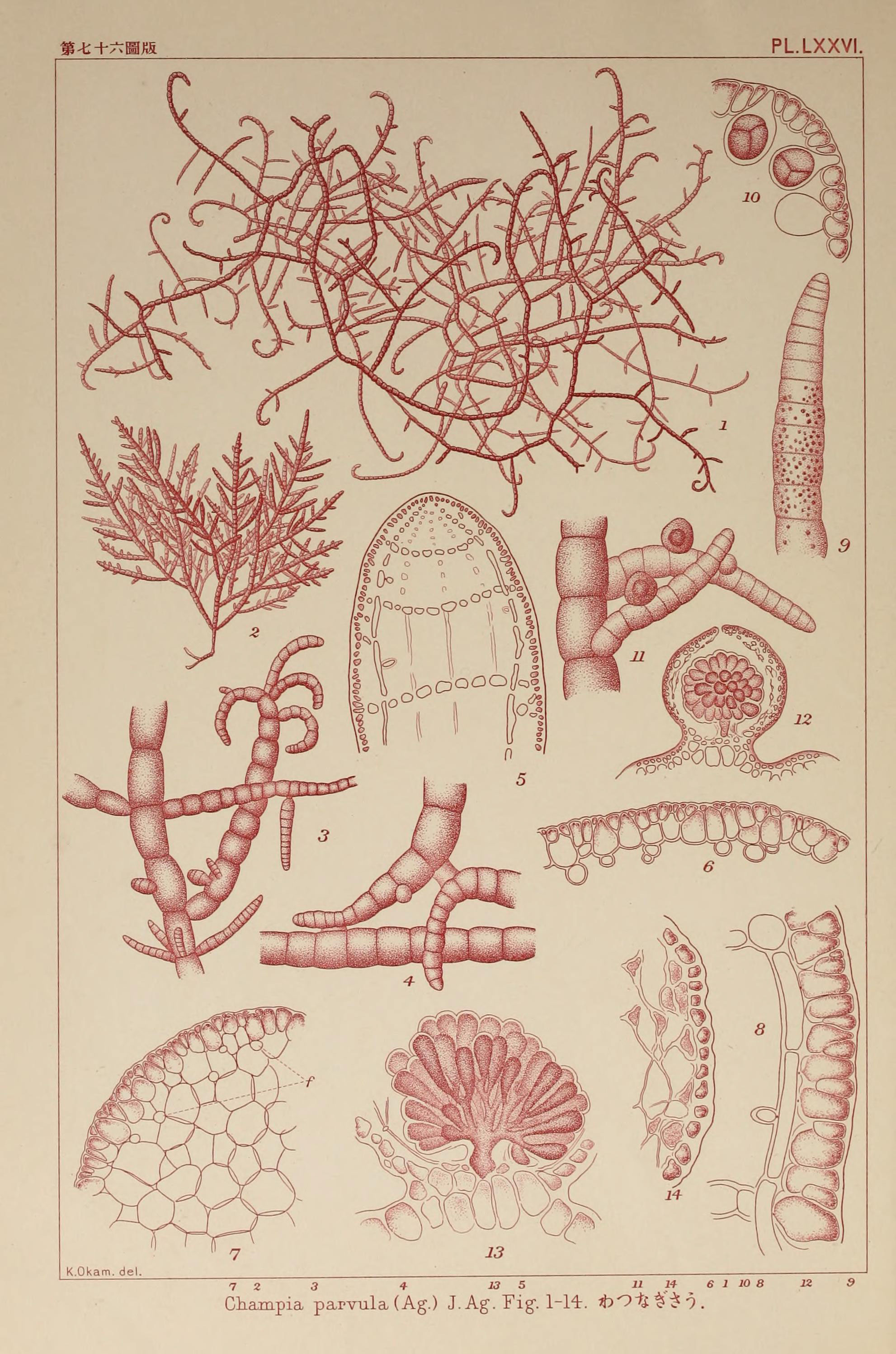 Image of <i>Champia parvula</i>