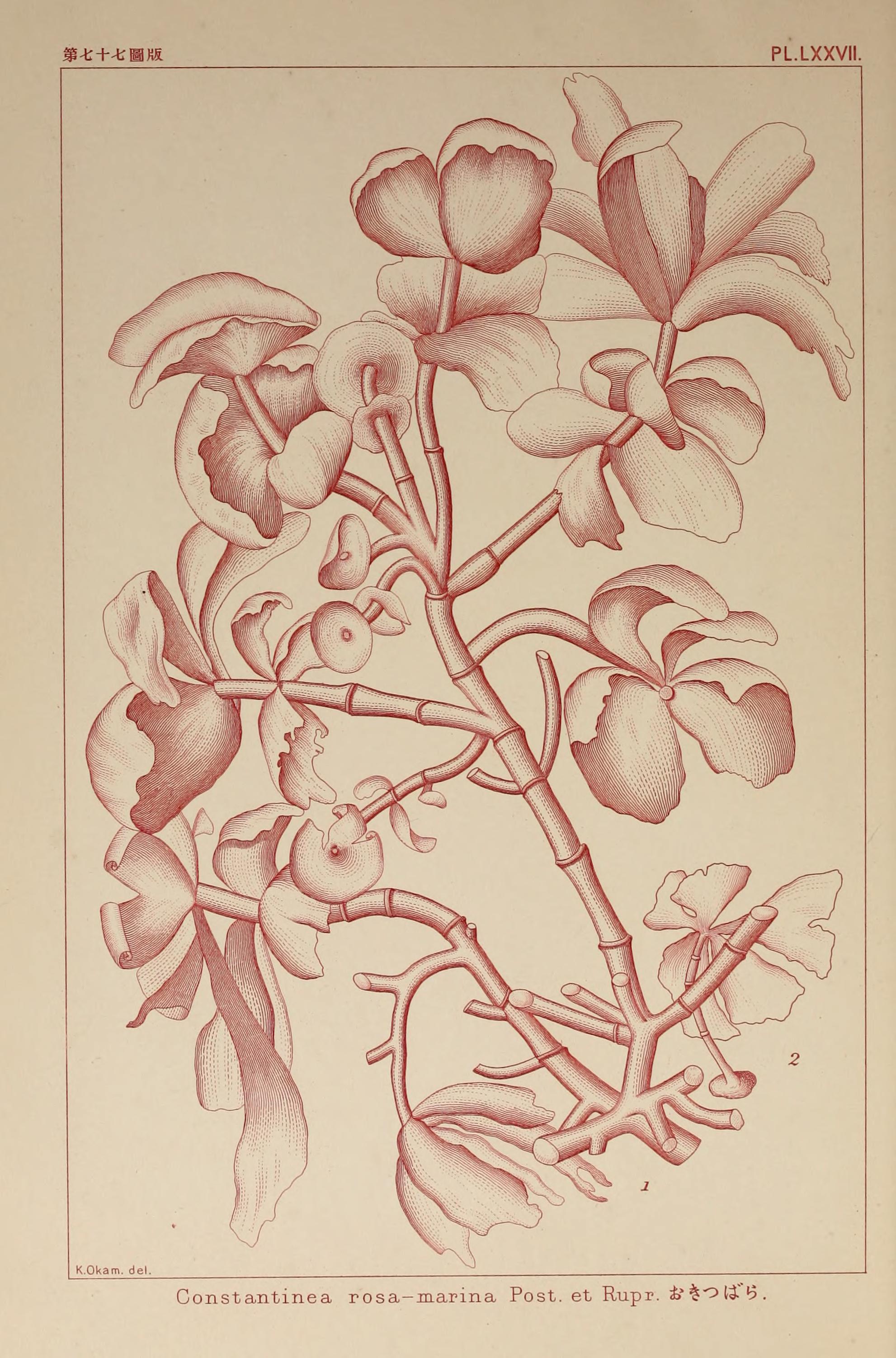 Image of <i>Constantinea rosa-marina</i>