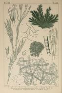 Image of <i>Microdictyon pseudohapteron</i> A. Gepp & E. S. Gepp 1908