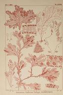 Image of <i>Delesseria fimbriata</i>