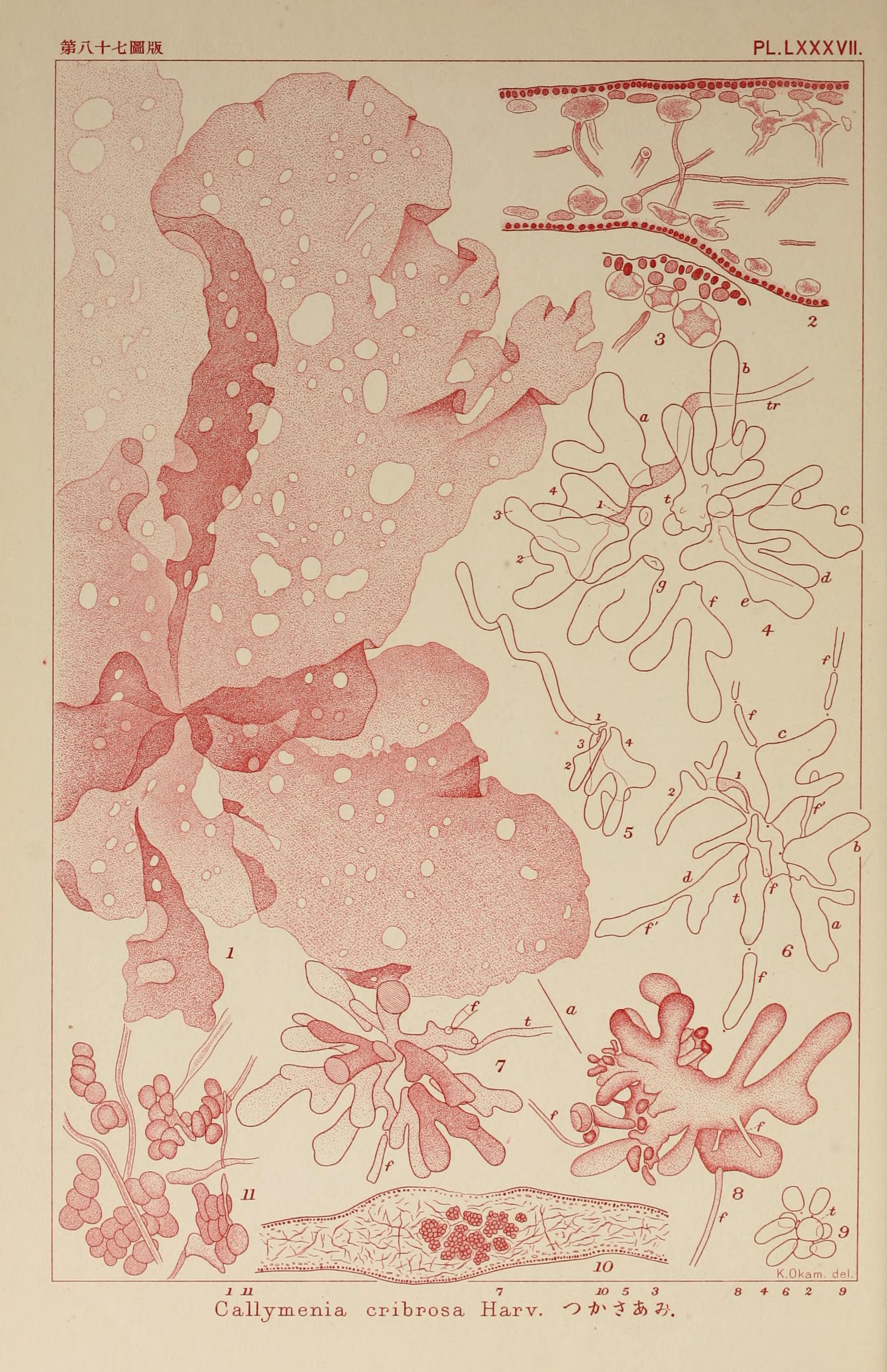 Image of <i>Kallymenia cribrosa</i> Harvey 1855