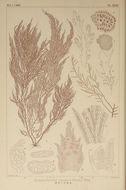 Image of <i>Symphyocladia linearis</i>