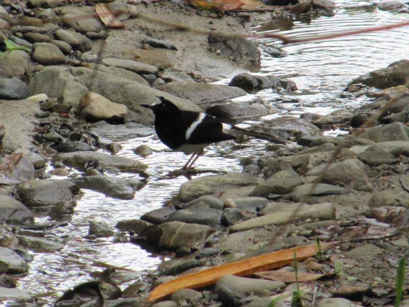 Image of White-crowned Forktail