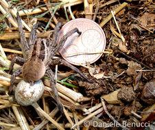 Image of Tarantula wolf spider