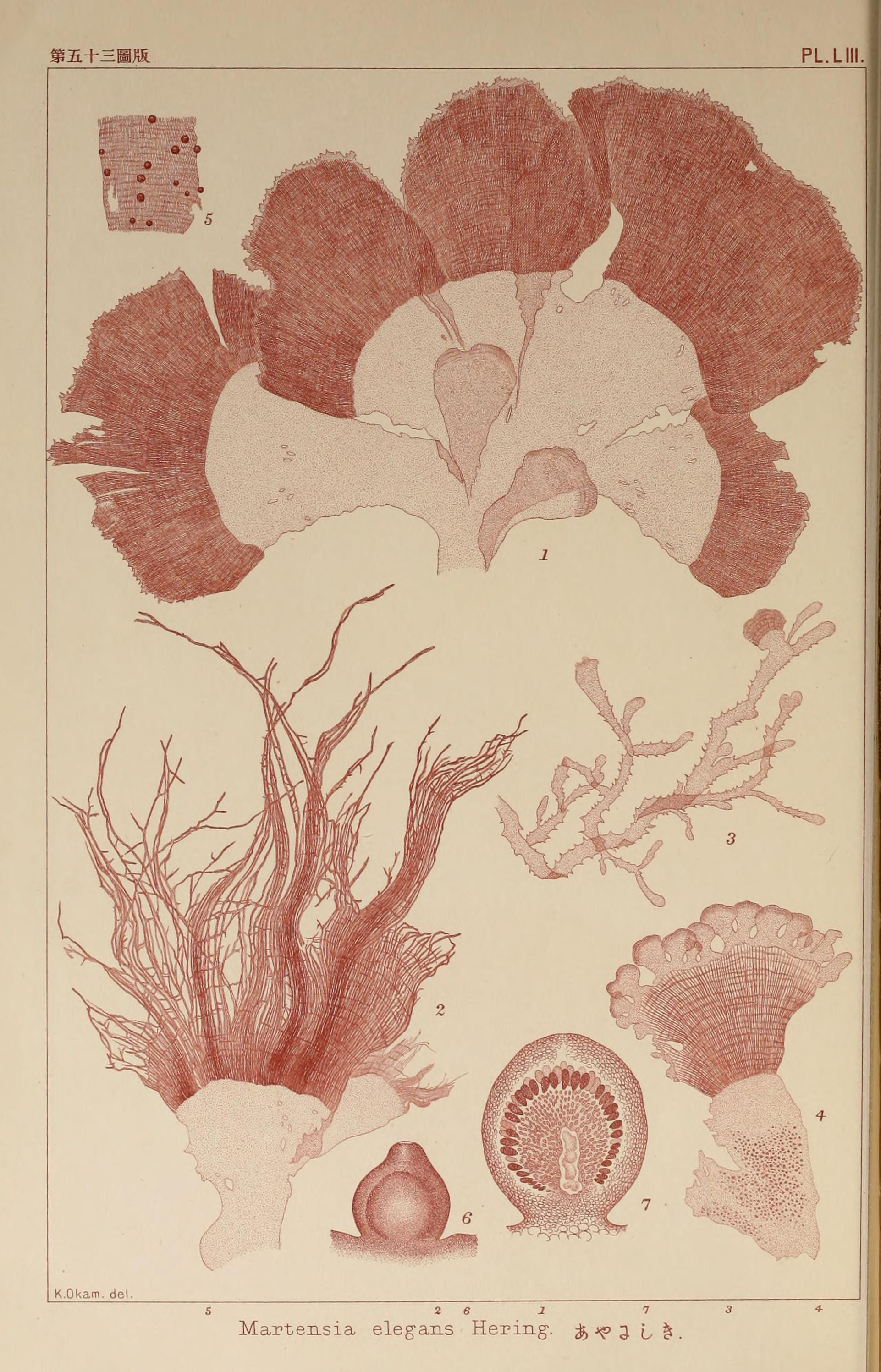 Image of <i>Martensia elegans</i>