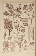 Image of <i>Hypnea variabilis</i> Okamura 1909