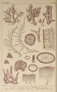 Image of <i>Hypnea saidana</i> Holmes 1896
