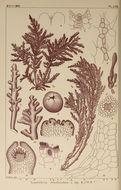 Image of <i>Laurencia dendroidea</i>