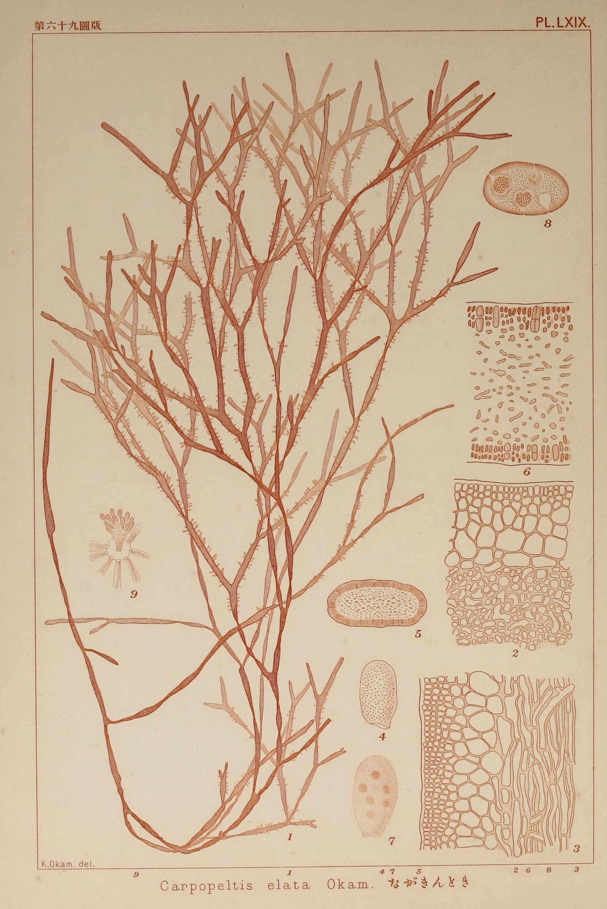 Image of <i>Carpopeltis elata</i> (Harvey) De Toni 1905