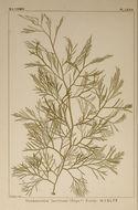 Image of <i>Desmarestia latifrons</i>
