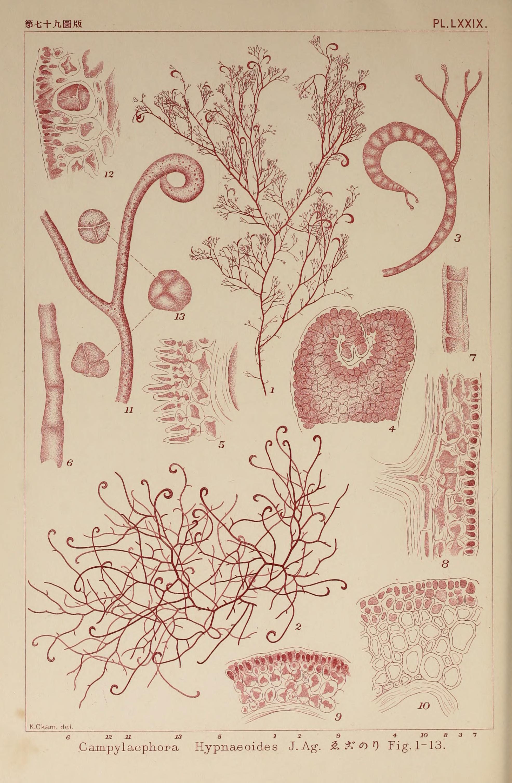Image of <i>Campylaephora hypnaeoides</i>
