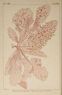 Image of <i>Neoholmesia japonica</i>