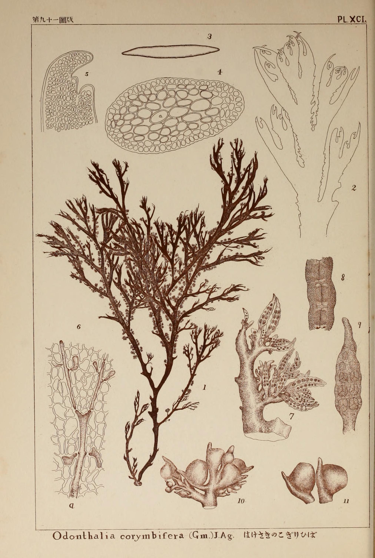 Image of <i>Odonthalia corymbifera</i>