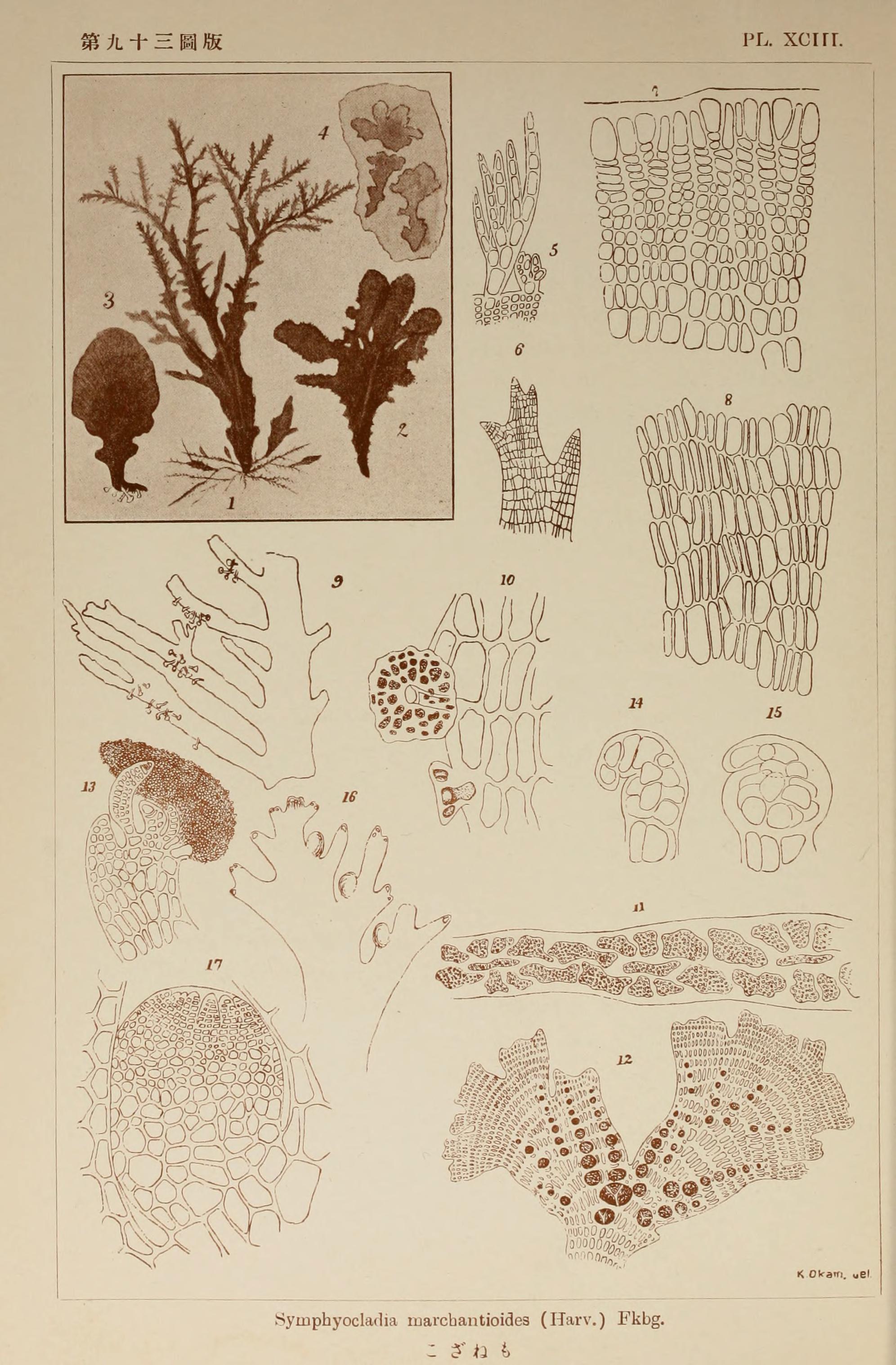 Image of <i>Symphyocladia marchantioides</i>
