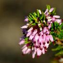 Image of <i>Erica multiflora</i> L.