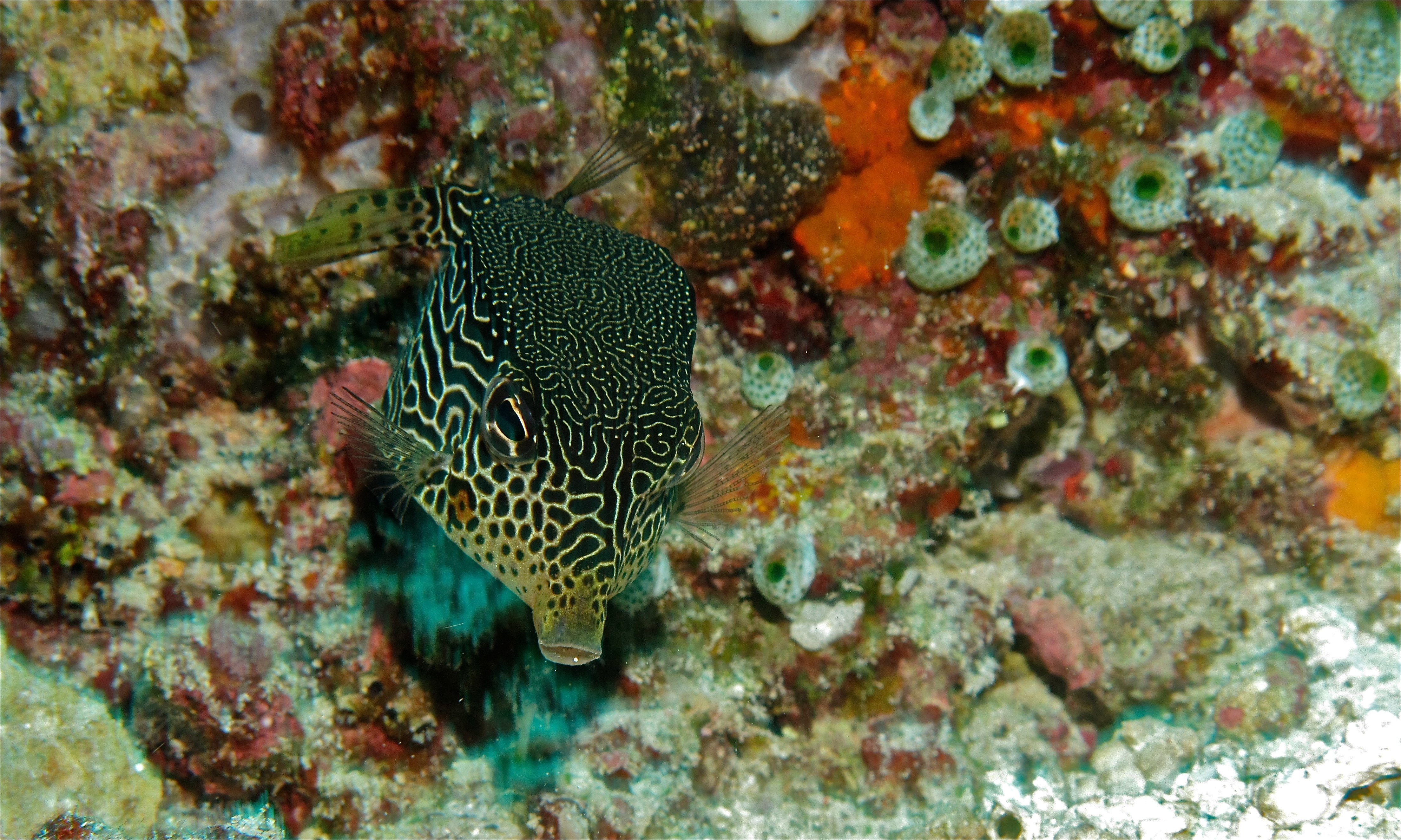 Image of Reticulate boxfish