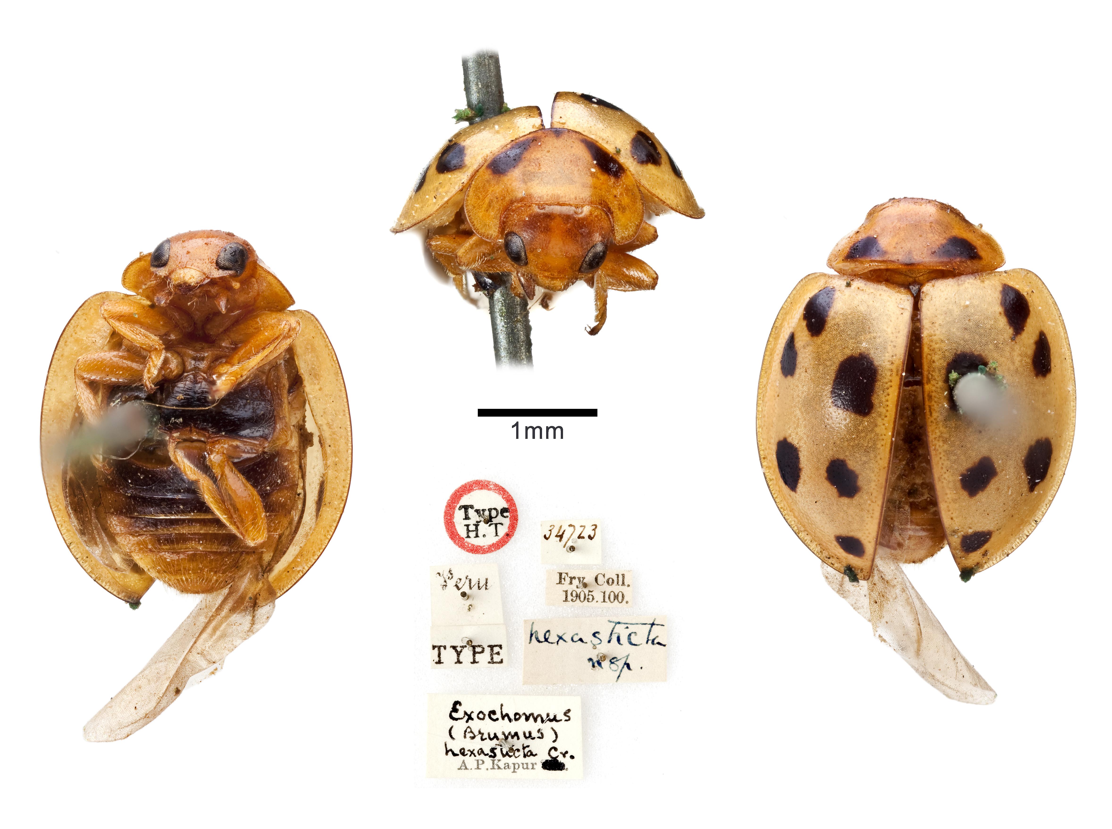Image of <i>Exochomus hexasticta</i>