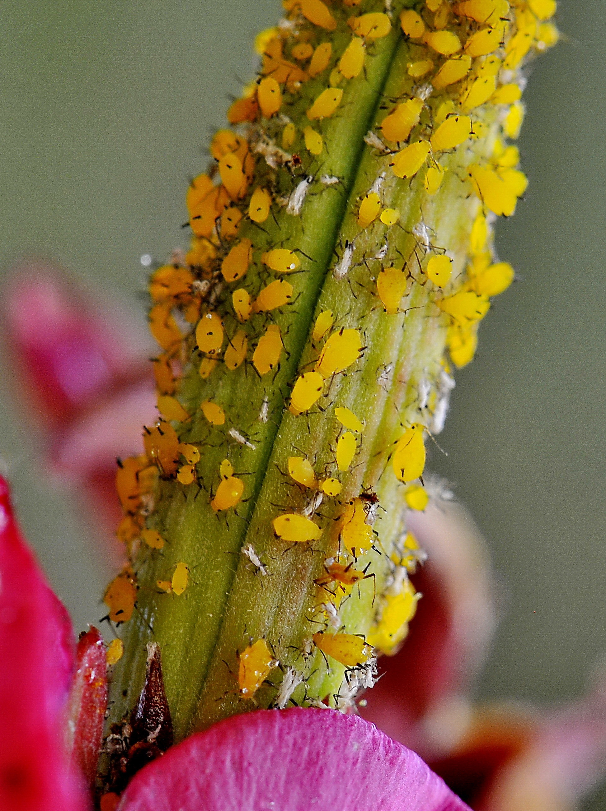 Image of Aphid