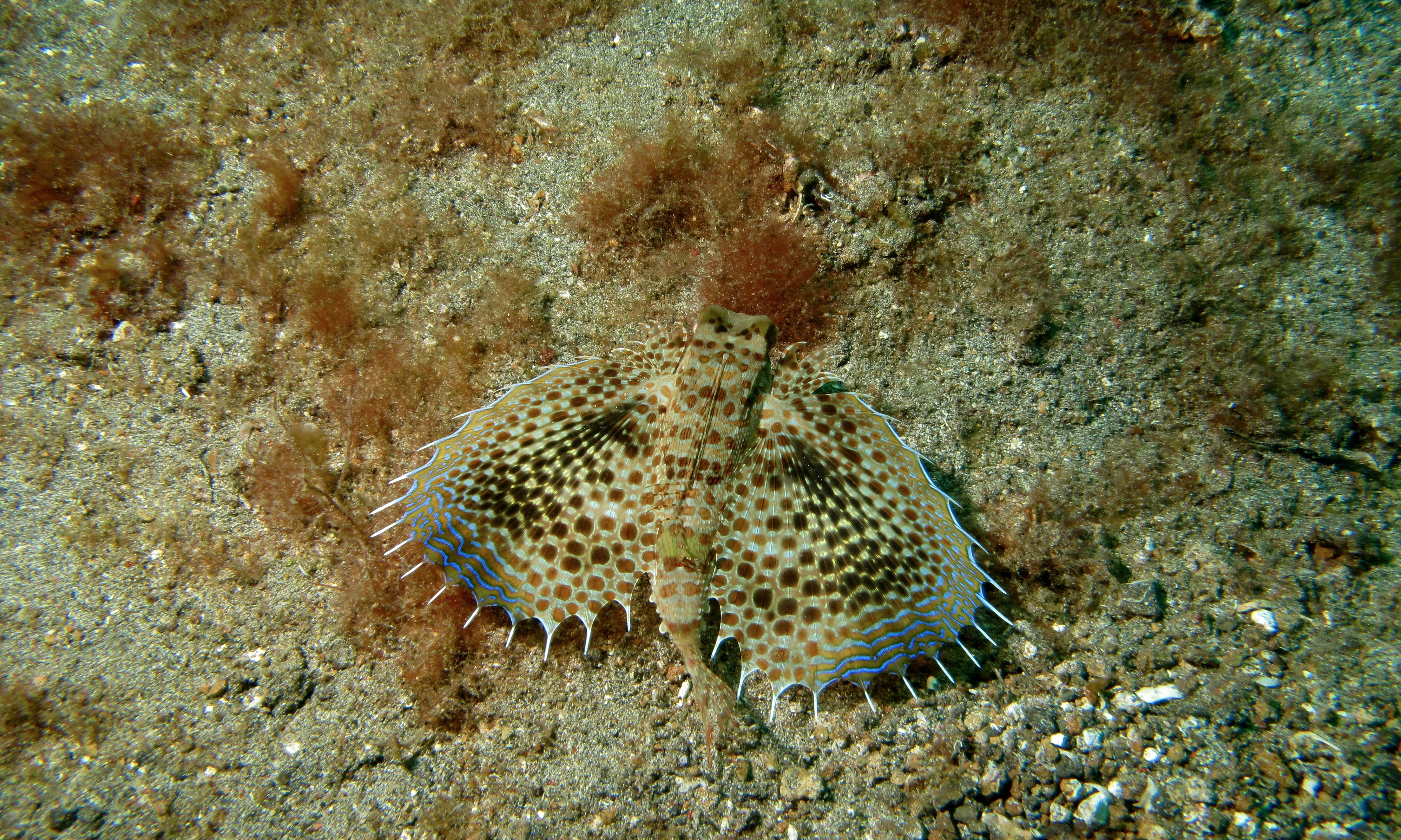 Image of Oriental flying gurnard