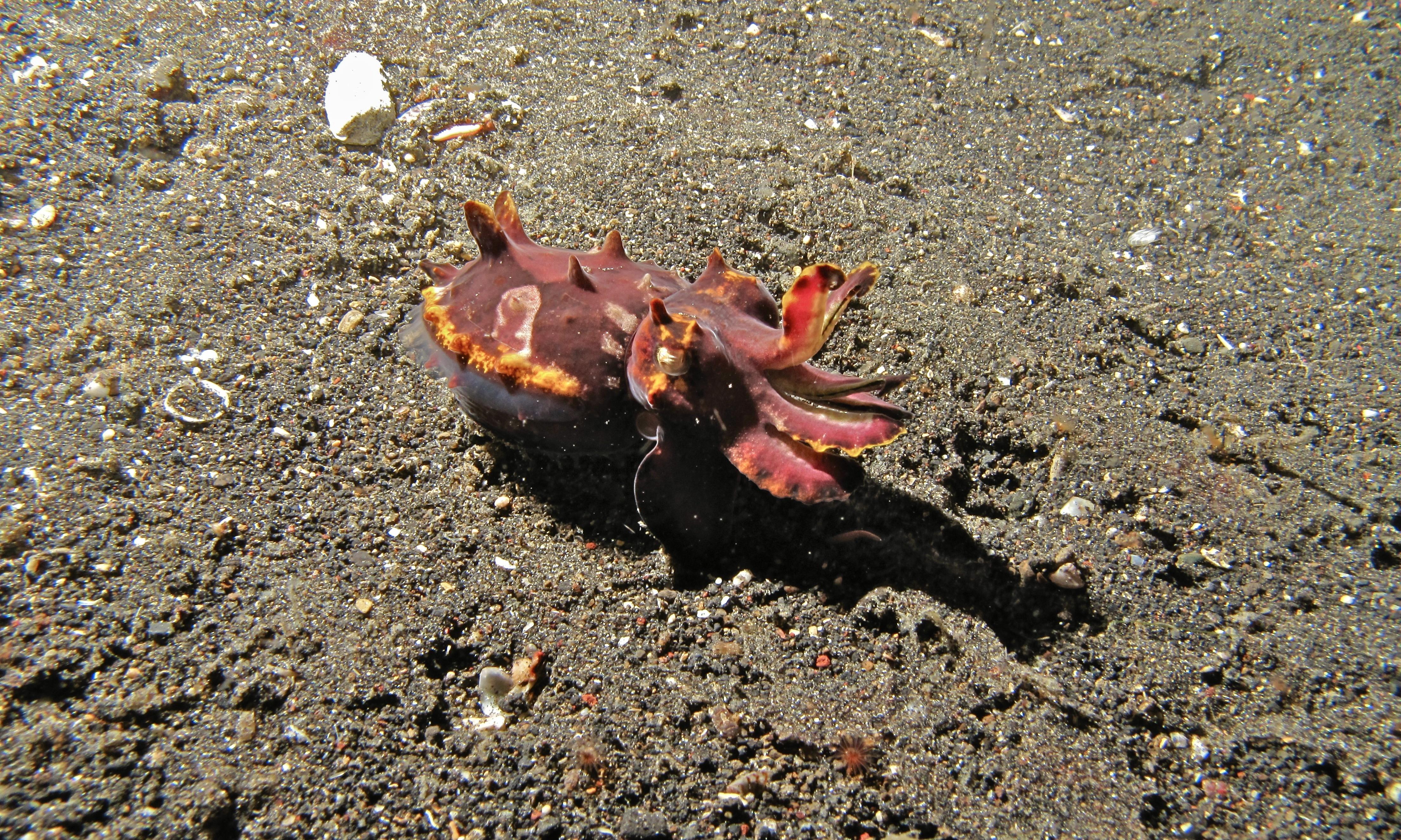 Image of Flamboyant Cuttlefish