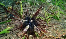 Image of black longspine urchin
