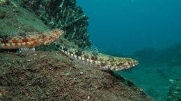 Image of Variegated lizardfish