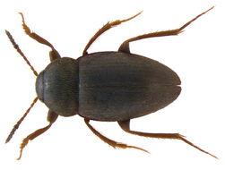 Image of <i>Catops fuliginosus</i> Erichson 1837