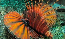 Image of Butterfly scorpionfish