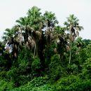 Image of <i>Pholidocarpus macrocarpus</i> Becc.