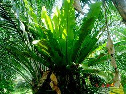 Image of Hawai'I birdnest fern